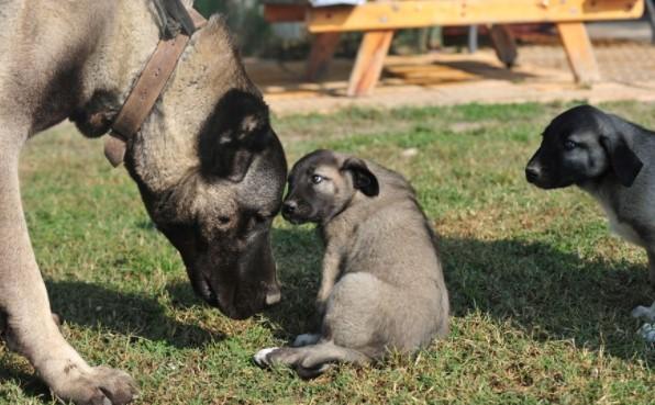 Kangal Yetiştiriciliği 2021 Köpek Çiftliği Karlı Mıdır?