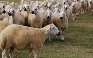 Ziraat Bankası Faizsiz Koyun Kredisi 2021 Şartları