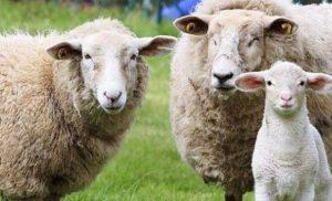 Koyun ve Keçi Yem Fiyatları 2021 Güncel Yem Fiyat Listesi