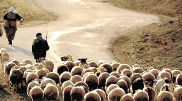 Sürü Yöneticisi Desteği Nasıl Alınır 2021 Sertifikalı Çoban
