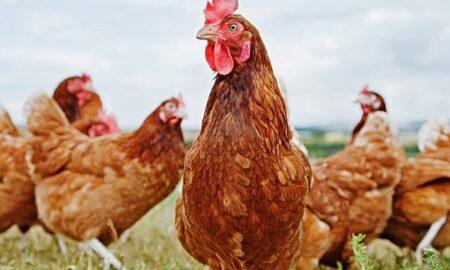 Tarım Kredi Tavuk Yemi Fiyatları 2021 En Güncel Fiyatlar