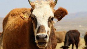 Ziraat Bankası Sıfır Faizli Sığır Yetiştiriciliği Kredisi 2021