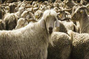 Koyun Keçi Desteklemesi 2021 Başvuru ve Şartları
