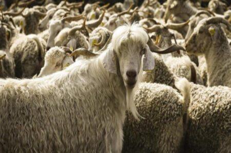 Anaç Koyun Keçi Desteklemesi 2021 Ne Zaman Ödenecek?