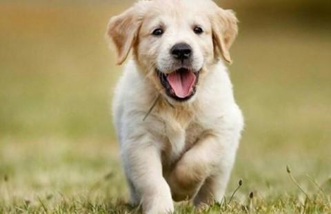 Köpeklerde Gençlik Hastalığı Nedir? Belirtileri Nelerdir?