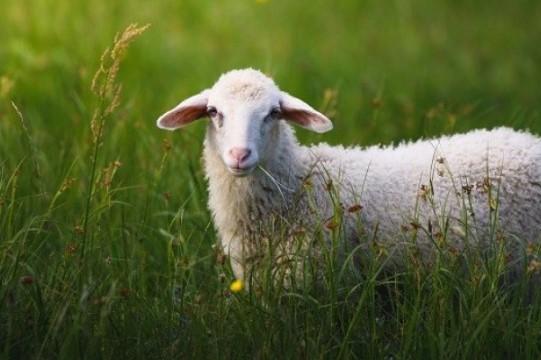 Koyun Kredisi Veren Bankalar