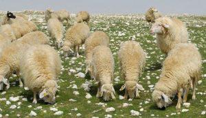 Koyun Kredisi Veren Bankalar 2021 Şartları GÜNCEL