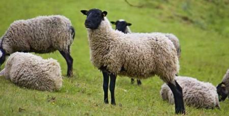 Koyun Kaç Ayda Doğurur? 10Koyun10 YıldaKaç KoyunYapar?